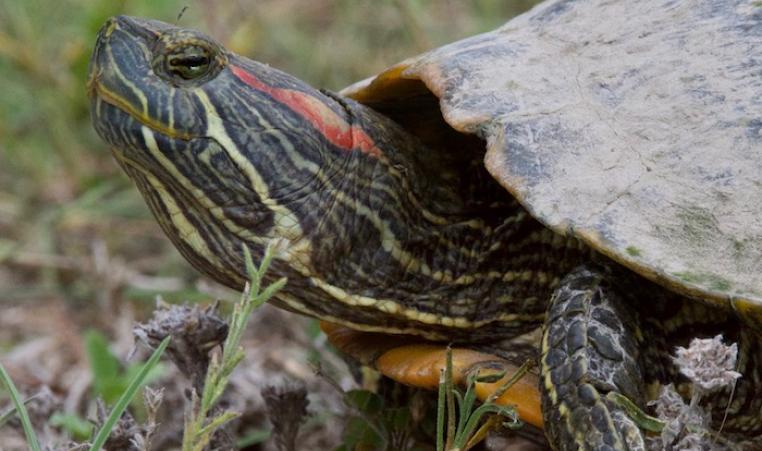 Roberts Ranch Turtle